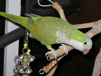2 Month Old Baby Male Quaker Parrot (Everything Included!)