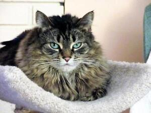 "Adult Female Cat - Domestic Long Hair: ""Louise"""