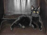 "Young Female Cat - Domestic Short Hair: ""MINNY"""