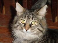 "Young Female Cat - Tabby - Brown-Norwegian Forest Cat: ""Anyka"""