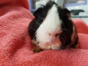 "Young Male Small & Furry - Guinea Pig: ""Smore"""