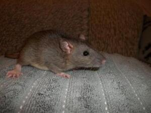"""Baby Male Small & Furry - Rat: """"Jorge"""""""