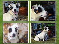 Male Dog - Jack Russell Terrier (Parson Russell Terrier)-Terrier