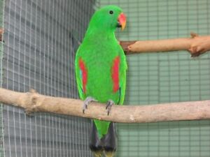 Proven breeder RED SIDED ECLECTUS MALE