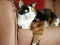 "Adult Female Cat - Calico: ""Marigold *DECLAWED*"""