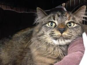 "Young Female Cat - Tabby: ""Pinto"""