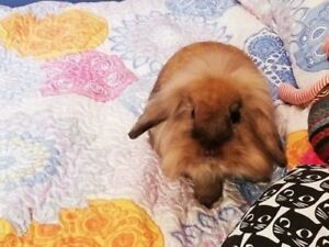 """Young Male Rabbit - Lionhead-Mini Lop: """"Toffee"""""""