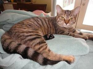 """Young Female Cat - Domestic Short Hair: """"Sally"""" London Ontario image 2"""