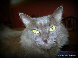 "Adult Female Cat - Domestic Medium Hair: ""Smokey"""