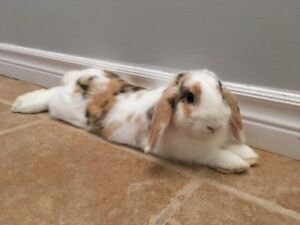 Female Lop for Adoption - URGENT, SERIOUS INQUIRIES ONLY
