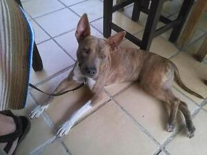 Young Female  - Staffordshire Bull Terrier-Pharaoh Hound