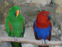 Proven breeding pair of RED SIDED ECLECTUS PARROTS