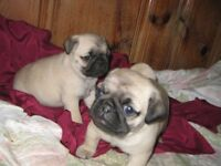 2 male pugs need to go asap