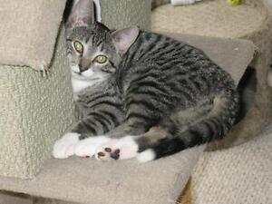 """Young Male Cat - Domestic Short Hair: """"Army Schumer"""""""