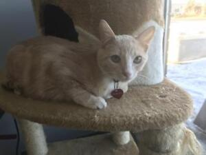 """Young Male Cat - Domestic Short Hair: """"Anthony"""""""