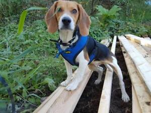 "Baby Male Dog - Beagle: ""Rocky - Foster home needed"""