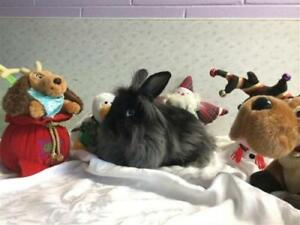 "Adult Male Rabbit - Lionhead: ""Alfie"""