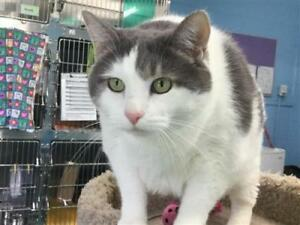 "Adult Female Cat - Domestic Short Hair: ""Chubby"""