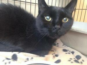 "Senior Male Cat - Domestic Short Hair-black: ""Fetty"""