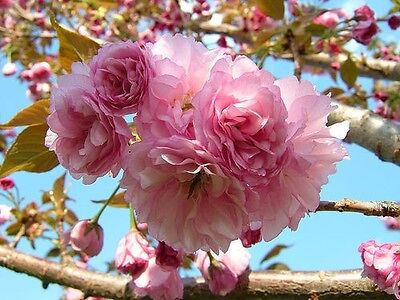 2 Kwanzan Flowering Cherry Tree S