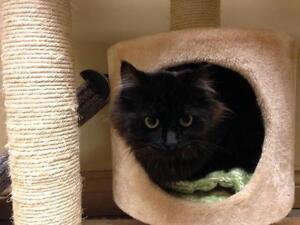 "Young Female Cat - Domestic Long Hair-black: ""Lentil"""