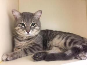 "Adult Male Cat - Tabby: ""Flash"""