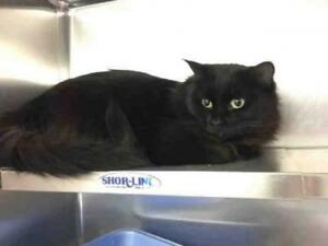 """Young Female Cat - Domestic Short Hair: """"MILLY"""""""