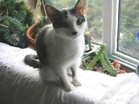 "Young Female Cat - Domestic Short Hair: ""Missy"""