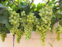 wanted - green grapes and plants