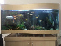 large 5foot eheim wave front tropical fish tank and fish 6 large silver 1 pleco large synodontis