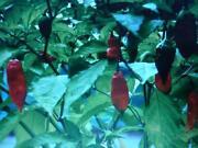 Naga Chilli Seeds