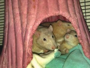 """Young Male Small & Furry - Rat: """"Clyde, Huey, & Remy"""""""
