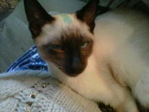 "Adult Male Cat - Siamese: ""Oscar"""