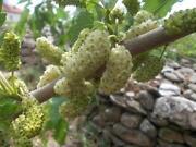 Mulberry Seeds