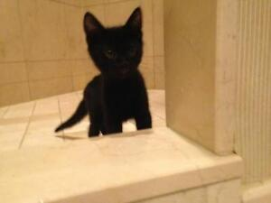 """Baby Male Cat - Domestic Short Hair: """"Midnight"""""""