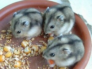 Need female russian dwarf or campbell's dwarf hamster any color