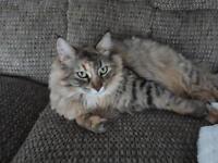 "Adult Female Cat - Domestic Short Hair: ""Merida"""