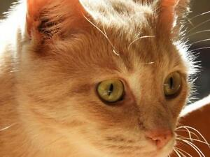 "Adult Male Cat - Domestic Short Hair - buff: ""CREAMPUFF & ARTIE"""