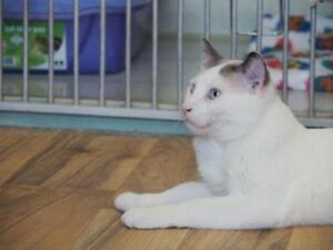 """Young Male Cat - Siamese: """"Kia"""""""