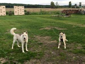 "Young Male Dog - Husky-Whippet: ""URGENT KAVIK AND LASKIN"""