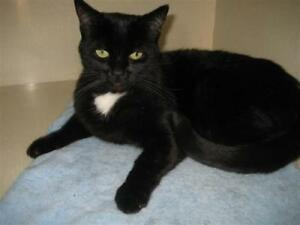"Adult Male Cat - Domestic Short Hair: ""Cosmo"""