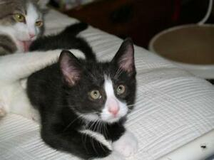 "Baby Male Cat - Domestic Short Hair-black and white: ""Charles"""