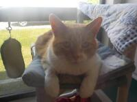 "Adult Male Cat - Domestic Short Hair - orange and white: ""Jinx"""