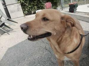"Adult Male Dog - Labrador Retriever: ""Harley"" Cambridge Kitchener Area image 1"