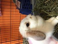 "Adult Female Rabbit - Holland Lop: ""Lady Coconut Fluffy-Pants"""