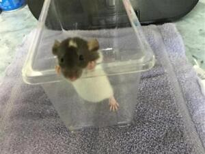 "Baby Male Small & Furry - Rat: ""Skippy"""