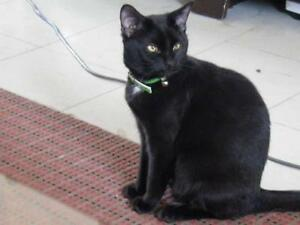 "Young Male Cat - Domestic Short Hair-black: ""Ash II"""
