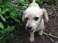 "Adult Male Dog - Maltese-Poodle: ""Gilbert"""
