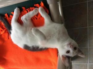 """Baby Male Cat - Domestic Short Hair - gray and white: """"Beemer"""""""