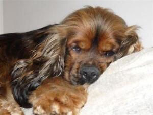 """Young Male Dog - Cocker Spaniel: """"FOSTERS URGENTLY N"""""""